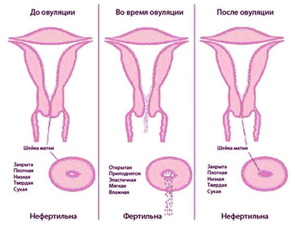 Регуляция секреции цервикальной слизи