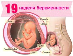 19 неделя беременности: что происходит