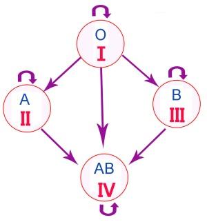 Механизм образования группы крови плода