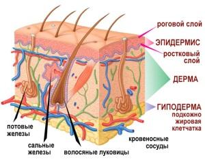 Формирование слоев кожи плода на 20 неделе