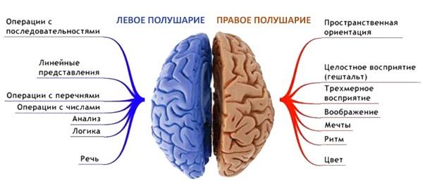 Функции полушарий головного мозга ребенка