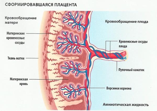 Система кровообращения мать-плод